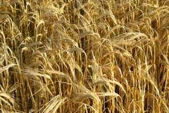 Weizen Stockfoto