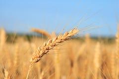 Weizen. Lizenzfreie Stockfotos