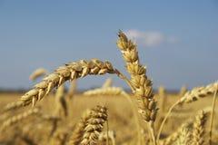 Weizen. Stockbilder