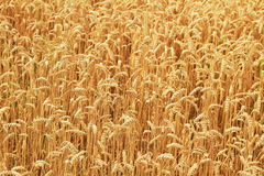 Weizen. Stockfotografie
