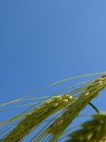 Weizen lizenzfreie stockfotos