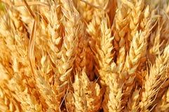 Weizen Lizenzfreies Stockbild