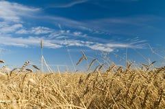 Weizen Stockbilder