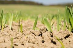 Weizen. Lizenzfreies Stockfoto