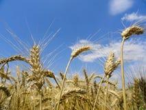Weizen stockbild