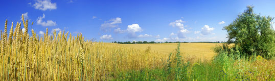 Weizen lizenzfreie stockfotografie