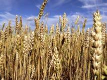 Weizen Stockfotos