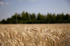 Weizen-Anlage Stockfoto