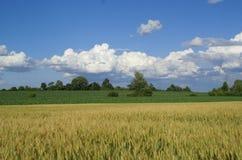 Weizen auf blauem Himmel Lizenzfreies Stockfoto