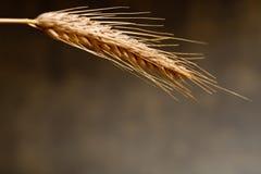 Weizen auf dem dunklen Hintergrund Stockbild
