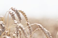 Weizen auf dem Feld Lizenzfreies Stockfoto