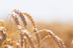 Weizen auf dem Feld Lizenzfreie Stockfotos