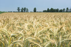 Weizen auf dem Feld angebaut im ländlichen Gebiet Lizenzfreies Stockbild