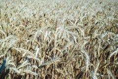 Weizen auf dem Feld Anlage, Natur, Roggen Stockfotografie