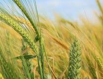 Weizen auf dem Gebiet Stockfotos