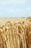 Weizen auf dem Gebiet Lizenzfreie Stockbilder