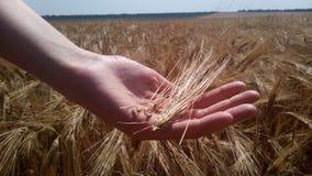 Weizen auf der Hand eines Kindes stockfotografie