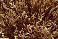 Weizen auf einem Feld Stockbilder