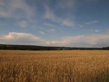 Weizen auf einem Gebiet Stockfotografie
