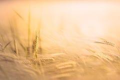 Weizen auf einem Gebiet stockfotos
