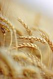 Weizen auf einem Gebiet Stockfoto