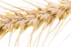 Weizen auf einem weißen Hintergrund Makro stockbild