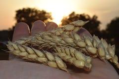 Weizen auf meiner Hand stockbild
