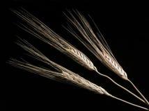Weizen auf Schwarzem Stockbilder
