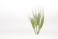 Weizen auf weißem Hintergrundrecht Lizenzfreies Stockfoto