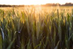 Weizen-Bauernhof-Feld bei goldenem Sonnenuntergang oder Sonnenaufgang Stockbilder