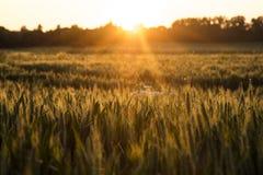 Weizen-Bauernhof-Feld bei goldenem Sonnenuntergang oder Sonnenaufgang Stockfoto