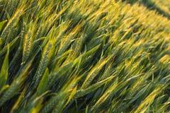 Weizen-Bauernhof-Feld bei goldenem Sonnenuntergang oder Sonnenaufgang Lizenzfreies Stockfoto