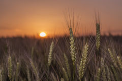 Weizen bei Sonnenuntergang Lizenzfreie Stockfotos