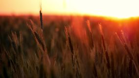 Weizen bei Sonnenuntergang Cornfileld im schönen Sonnenschein des späten Abends Ernte von Getreide Weizen-Ernte-Ohren des Weizens stock video