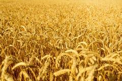 Weizen bereit geerntet zu werden Stockfotos