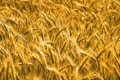 Weizen bevor dem Ernten Stockfoto