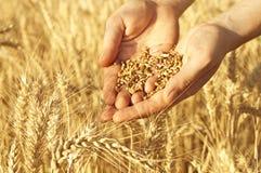 Weizen in den Händen lizenzfreies stockbild