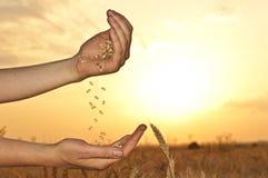 Weizen in den Händen auf Sonnenuntergang stockbilder