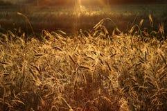 Weizen in den Lichtstrahlen der Sonne lizenzfreies stockbild