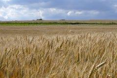 Weizen, der auf dem Gebiet wächst Stockfotos