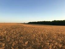 Weizen, der auf Feld reift Lizenzfreies Stockbild
