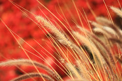 Weizen, der in den Wind wellenartig bewegt Stockbild