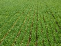 Weizen, der Feldhintergrund pflanzt Lizenzfreie Stockfotos