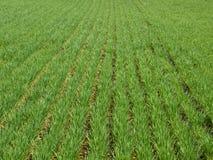 Weizen, der Feldhintergrund pflanzt lizenzfreies stockbild