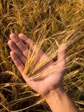 Weizen in der Hand Lizenzfreies Stockbild
