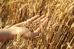 Weizen in der Hand der Frau stockbilder