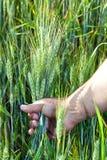 Weizen in der Hand der Männer. Lizenzfreie Stockfotografie