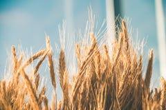 Weizen an einem sonnigen Tag Stockbild