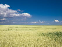 Weizen f ield blauer Himmel Stockbild