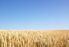 Weizen-Feld Stockfotografie